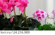 Купить «Beautiful flowers of cyclamen, rose and geranium», видеоролик № 24216989, снято 14 ноября 2016 г. (c) Володина Ольга / Фотобанк Лори