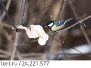 Купить «Синица большая. Great Tit (Parus major).», фото № 24221577, снято 26 января 2014 г. (c) Василий Вишневский / Фотобанк Лори