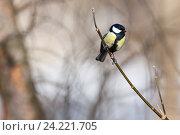 Купить «Синица большая. Great Tit (Parus major).», фото № 24221705, снято 1 марта 2014 г. (c) Василий Вишневский / Фотобанк Лори