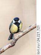 Купить «Синица большая. Great Tit (Parus major).», фото № 24221721, снято 1 марта 2014 г. (c) Василий Вишневский / Фотобанк Лори
