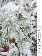 Купить «Обледеневшие заснеженные ветки сосны после ледяного дождя», эксклюзивное фото № 24225433, снято 15 ноября 2016 г. (c) Елена Коромыслова / Фотобанк Лори