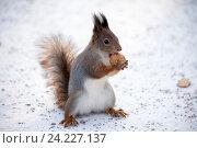 Купить «Рыжая белка с орехом», фото № 24227137, снято 6 ноября 2016 г. (c) Литвяк Игорь / Фотобанк Лори