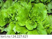 Купить «Салат листовой (Lactūca sātiva)», фото № 24227621, снято 14 июня 2010 г. (c) Зобков Георгий / Фотобанк Лори