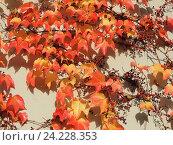 Купить «Девичий виноград триостренный (Parthenocissus tricuspidata), или виноград плющевидный», фото № 24228353, снято 5 ноября 2016 г. (c) Заноза-Ру / Фотобанк Лори