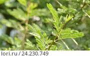 Купить «Acacia karroo, commonly known as Sweet thorn», видеоролик № 24230749, снято 9 сентября 2016 г. (c) BestPhotoStudio / Фотобанк Лори