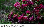 Купить «Abundantly the flowering bush of pink rose», видеоролик № 24231529, снято 17 ноября 2016 г. (c) Володина Ольга / Фотобанк Лори