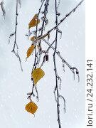 Купить «Березовые ветки и листьями с сосульками под ледяным дождем. Зимний фон», фото № 24232141, снято 11 ноября 2016 г. (c) Татьяна Белова / Фотобанк Лори