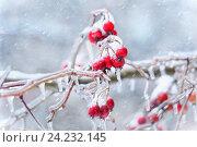 Купить «Маленькие яблочки -ранетки с сосульками под ледяным дождем», фото № 24232145, снято 13 ноября 2016 г. (c) Татьяна Белова / Фотобанк Лори