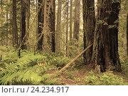 Купить «Национальный парк «Редвуд» — национальный парк в штате Калифорния, США», фото № 24234917, снято 25 января 2013 г. (c) Алексей Кокоулин / Фотобанк Лори