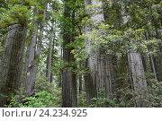 Купить «Национальный парк «Редвуд» — национальный парк в штате Калифорния, США», фото № 24234925, снято 25 января 2013 г. (c) Алексей Кокоулин / Фотобанк Лори