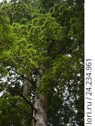 Купить «Лес Редвуд, Калифорния, США», фото № 24234961, снято 25 января 2013 г. (c) Алексей Кокоулин / Фотобанк Лори
