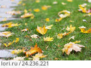 Купить «fallen autumn maple leaves on green grass», фото № 24236221, снято 12 октября 2016 г. (c) Syda Productions / Фотобанк Лори