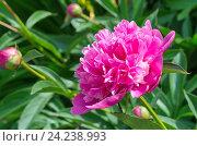 Купить «Розовый пион (лат. Paeonia)», фото № 24238993, снято 18 июня 2016 г. (c) Елена Коромыслова / Фотобанк Лори