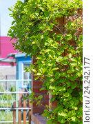Купить «Листопадная лиана - Лимонник китайский ( лат.Schisandra chinensis ). Веранда дачи опутанная цветущей лианой», фото № 24242177, снято 28 мая 2016 г. (c) Евгений Мухортов / Фотобанк Лори