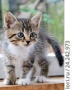 Котенок на подоконнике. Стоковое фото, фотограф Сергей Манекин / Фотобанк Лори