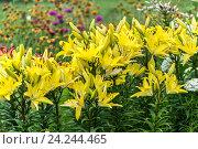 Купить «Lots of beautiful yellow lilies in flowerbed», фото № 24244465, снято 8 июля 2016 г. (c) Володина Ольга / Фотобанк Лори