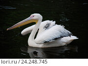 Купить «Грациозный пеликан на фоне темной глубокой воды», фото № 24248745, снято 21 ноября 2016 г. (c) Савицкая Татьяна / Фотобанк Лори