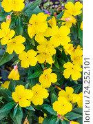 Купить «Энотера кустарниковая (Oenothera fruticosa L. ). Декоративное многолетнее садовое растение с жёлтыми цветами», фото № 24252101, снято 3 июля 2016 г. (c) Евгений Мухортов / Фотобанк Лори
