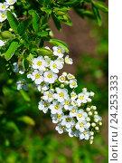 Купить «Ветка цветущей Спиреи серой Graciosa (лат. Spiraéa ×cinérea)», фото № 24253333, снято 3 мая 2014 г. (c) Зобков Георгий / Фотобанк Лори