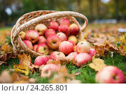 Купить «wicker basket of ripe red apples at autumn garden», фото № 24265801, снято 12 октября 2016 г. (c) Syda Productions / Фотобанк Лори