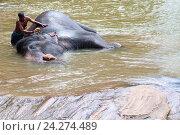Мужчина сосредоточено моет слона в реке, фото № 24274489, снято 2 ноября 2009 г. (c) Эдуард Паравян / Фотобанк Лори