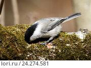 Гаичка буроголовая. Willow Tit (Parus montanus, Parus atricapillus). Стоковое фото, фотограф Василий Вишневский / Фотобанк Лори