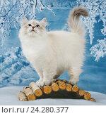 Купить «Сибирский Невский Маскарадный котенок в зимнем лесу», фото № 24280377, снято 27 октября 2016 г. (c) ElenArt / Фотобанк Лори