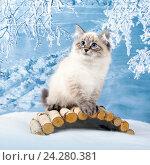 Купить «Сибирский Невский Маскарадный котенок в зимнем лесу», фото № 24280381, снято 27 октября 2016 г. (c) ElenArt / Фотобанк Лори