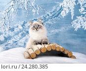 Купить «Сибирский Невский Маскарадный котенок в зимнем лесу на снегу», фото № 24280385, снято 27 октября 2016 г. (c) ElenArt / Фотобанк Лори