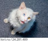 Белый кот с гетерохромией. Стоковое фото, фотограф Сергей Васильев / Фотобанк Лори