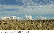 Урожай пшеницы на поле над голубым небом. Стоковое видео, видеограф Станислав Толстнев / Фотобанк Лори