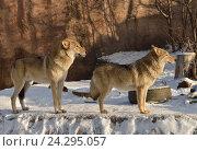 Купить «Пара волков зимой», фото № 24295057, снято 30 ноября 2016 г. (c) Валерия Попова / Фотобанк Лори