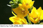 Купить «Вербейник точечный садовый Lysimachia punctata (Garden Loosestrife, Yellow Loosestrife or Garden Yellow Loosestrife)», видеоролик № 24296465, снято 17 ноября 2016 г. (c) Pukhov K / Фотобанк Лори