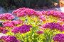 Очиток видный (Sedum spectabile). Осеннее цветение, фото № 24301749, снято 8 октября 2015 г. (c) Евгений Мухортов / Фотобанк Лори
