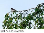 Купить «Сорокопут чернолобый. Lesser Grey Shrike (Lanius minor).», фото № 24302985, снято 10 июня 2016 г. (c) Василий Вишневский / Фотобанк Лори