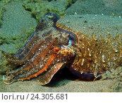 Каракатица, остров Бали, Пури Джати, Индонезия. Стоковое фото, фотограф Александр Огурцов / Фотобанк Лори
