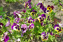 Фиалка трехцветная (лат. Viola tricolor), или анютины глазки, фото № 24306853, снято 18 июня 2016 г. (c) Елена Коромыслова / Фотобанк Лори
