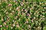 Цветущий розовый клевер, фото № 24306857, снято 28 июня 2016 г. (c) Елена Коромыслова / Фотобанк Лори