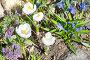 Весенние цветы на клумбе, фото № 24306861, снято 24 апреля 2016 г. (c) Елена Коромыслова / Фотобанк Лори