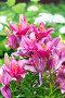 Lots of pink lilies on background of white hydrangeas in garden, фото № 24309041, снято 8 июля 2016 г. (c) Володина Ольга / Фотобанк Лори