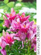 Купить «Lots of pink lilies on background of white hydrangeas in garden», фото № 24309041, снято 8 июля 2016 г. (c) Володина Ольга / Фотобанк Лори