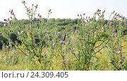 Купить «Thickets of prickly Thistle on meadow in wild nature», видеоролик № 24309405, снято 17 июля 2016 г. (c) Володина Ольга / Фотобанк Лори