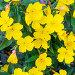 Энотера кустарниковая (Oenothera fruticosa L. ). Декоративное многолетнее садовое растение с жёлтыми цветами, фото № 24309833, снято 3 июля 2016 г. (c) Евгений Мухортов / Фотобанк Лори