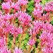 """Очиток  ложный """"Пурпуреа"""" ( Sedum spurium """"Purpurea"""" ). Декоративное садовое растение с розовыми цветами, фото № 24309849, снято 3 июля 2016 г. (c) Евгений Мухортов / Фотобанк Лори"""
