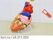 Наглядное пособие - сердце. Стоковое фото, фотограф Наталья Уварова / Фотобанк Лори