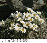 Купить «Alp chrysanthemum, chrysanthemum alpinum, nature, botany, plants, flowers, Alpine flowers, alp chrysanthemum, Tanacetum alpinum, Leucanthemopsis alpina...», фото № 24315593, снято 10 ноября 2005 г. (c) mauritius images / Фотобанк Лори