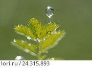 Купить «Leaves, detail, drop water, Still life, plant, nature, chlorophyll, chlorophyll, botany, water, drop, rope, rain, raindrop, dewdrop, icon, freshness, wet, outside», фото № 24315893, снято 5 июня 2002 г. (c) mauritius images / Фотобанк Лори
