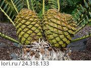 Купить «Женская шишка растет на Lebombo Cycad aka Encephalartos setaceous», фото № 24318133, снято 1 февраля 2013 г. (c) Алексей Кокоулин / Фотобанк Лори