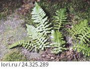 Купить «Forest floor, dot fern, polyplatform vulgare nature, botany, flora, Common dot fern, dot fern plants, polyplatform, fern, Angel-sweetly, fern plant, fern...», фото № 24325289, снято 23 августа 2005 г. (c) mauritius images / Фотобанк Лори