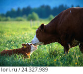 Купить «Cow, calf, pasture, animals, cortexes, race, cortex race, mother animal, young animal, young, cows, pets, mammals, benefit animals, horn animals, Bovinae...», фото № 24327989, снято 25 сентября 2018 г. (c) mauritius images / Фотобанк Лори